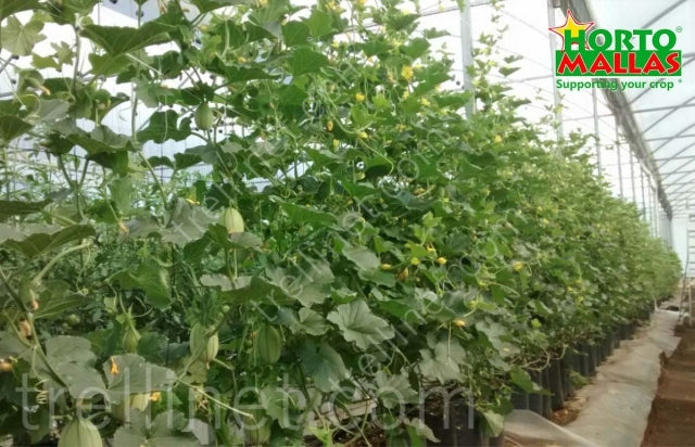 Cucumber production with trellis net support at greenhouse