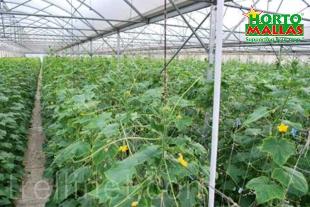 Cucumber production with vertical trellis net support