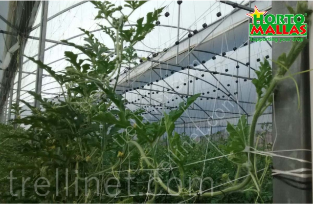 Greenhouse cucumber production with trellis net support