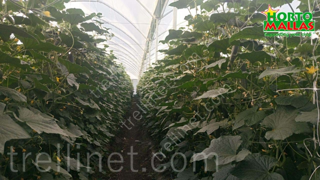 Greenhouse cucumber vertical production with trellis net support