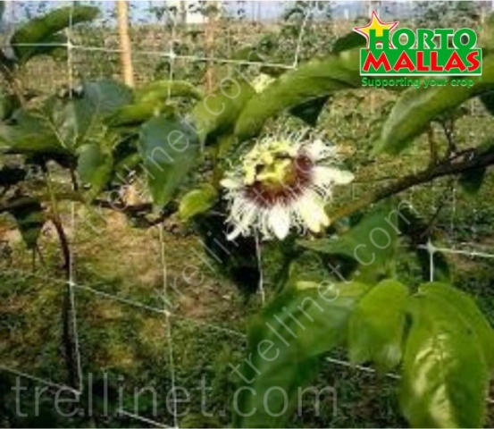 Passion flower production with trellis net training