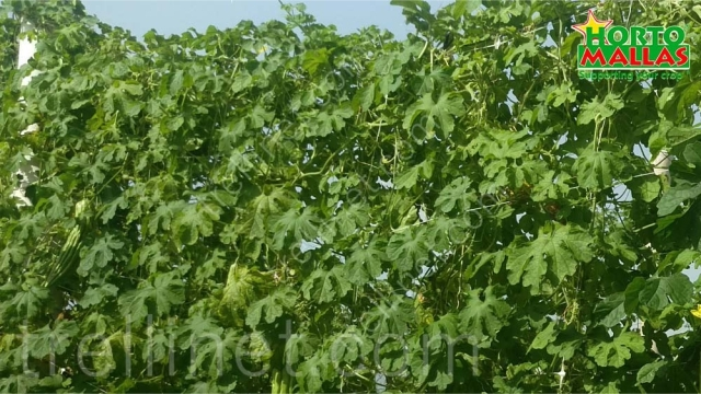 Trellis net on cucumber production supported vertically