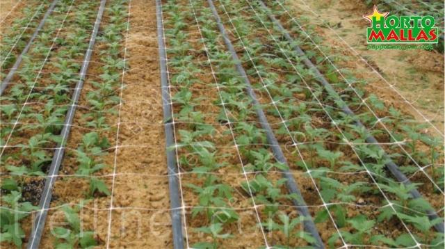 Trellis net on open field sprouts