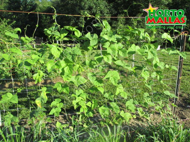 Vertical cucumber production with trellis net training