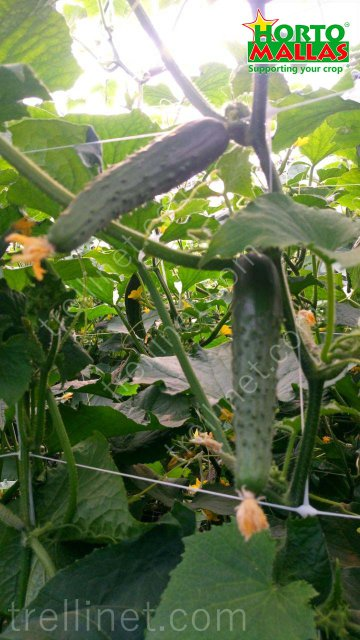 Vertical cucumber production with trellis net